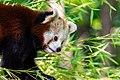 Red Panda (36790345434).jpg