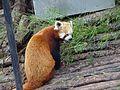 Red Panda of nanital zoo.jpg