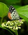 Red Pierrot Talicada nyseus nectaring by Dr. Raju Kasambe DSCN7596 (12).jpg