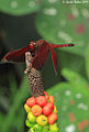 Red darter- using the top of Arum (Araceae) as a raised stand for hunting - sharp - (5135220781).jpg