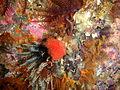 Red fanworm at Castle Rocks P7260902.JPG