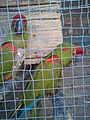Red fronted macaw ara rubrogenys.jpg
