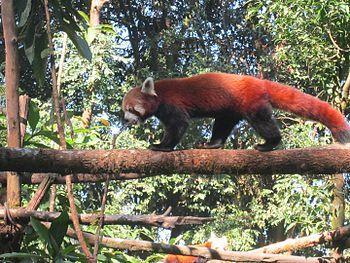 Red panda in a zoo.jpg
