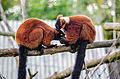 Red ruffed lemurs grooming.jpg