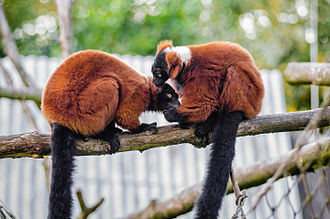 Red ruffed lemur - Red ruffed lemurs grooming each other.