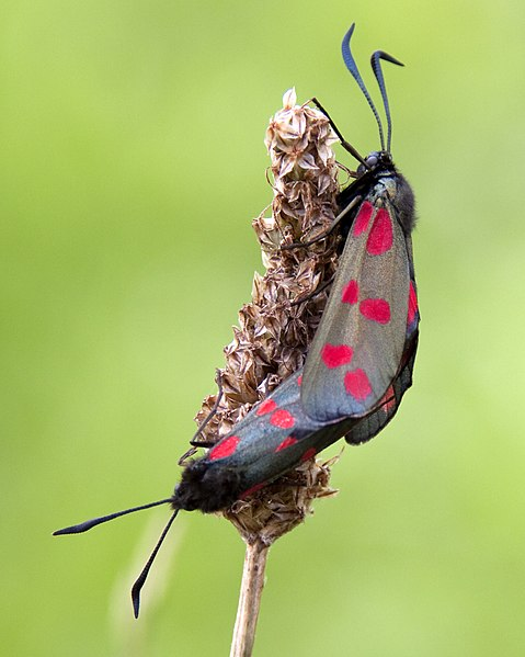 File:Red spotted moths 2 (3745880271).jpg