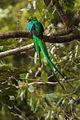 Resplendent Quetzal - Panama H8O1573 (16305973361).jpg