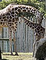 Reticulated Giraffe (4178201522).jpg