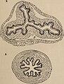 Revue suisse de zoologie. (1925) (14780434632).jpg