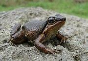 Picture of frog Rheobates palmatus