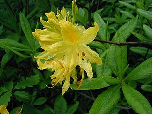 Rhododendron-luteum-close.jpg