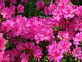 Rhododendron 'Concina' 02.JPG