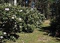 Rhododendron Tuiranpuisto Oulu 20180521 04.jpg