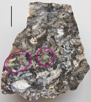 Rhynie chert - Surface view of a polished piece of Rhynie chert showing many corms/tubers of Horneophyton. Marked examples: centre – single corm with rhizoids; left – linked corms with rhizoids. Scale bar is 1 cm.
