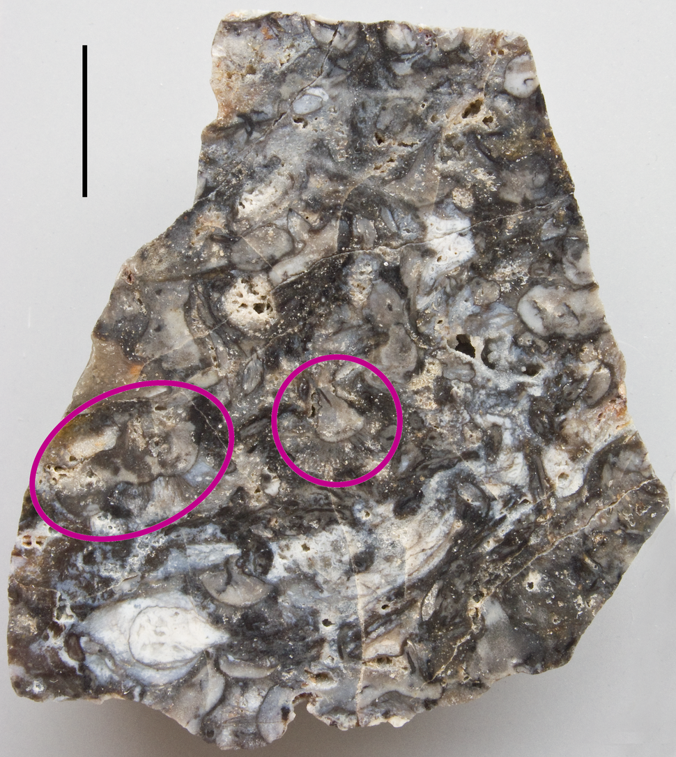 Rhynie chert with Horneophyton 1