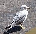 Ring-billed gull at La Ronde amusement park - panoramio (1).jpg
