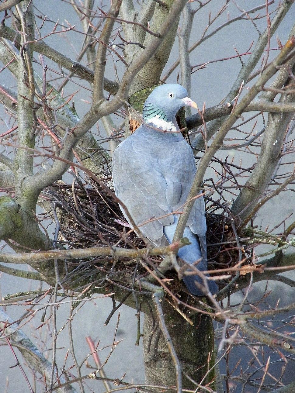 Ringeltaube Nest 002