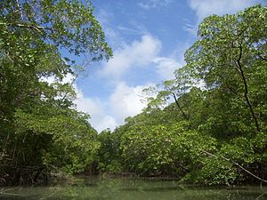 Mangrove and woodland near the Amazon river - ...