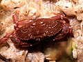 Rock crab on tunicate colony.jpg