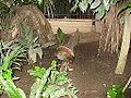 Rollulus rouloul in Zoo Krefeld (2).JPG