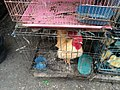 Rooster for sale at Jatinegara Market.jpg