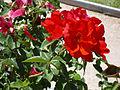 Rosa 'MEIlacneis' M. Richardier 2009 RPO3.jpg