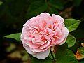 Rosa 'Maxima Romantica' 02.jpg