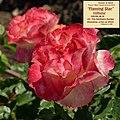 """Rosa """"Flaming Star"""" o KORtaltal. 04.jpg"""