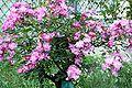 Rosa Lavender Dream - Giverny02.jpg