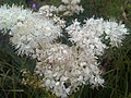 Rosales - Filipendula vulgaris - 1.jpg