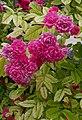 Rosarium Baden Rosa 'Brewood Belle' John Scarman 1995 03.jpg