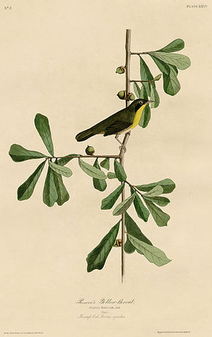 Roscoe's Yellow-throat (Audubon).jpg
