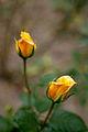 """Rose, """"King's Ronsom"""" - Flickr - nekonomania (1).jpg"""