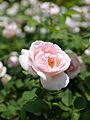 Rose, The Prioress, バラ, ザ プライオレス, (11472629646).jpg