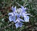 Rosmarinus officinalis (47433003991).jpg