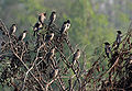 Rosy Starling (Sturnus roseus) near Hyderabad W IMG 4900.jpg