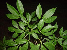 Rubber tree leaves.JPG
