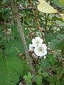 Rubus fruticosus double-flowered 001.JPG