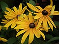 Rudbeckia from Lalbagh flower show Aug 2013 8281.JPG