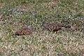 Ruddy ground dove-9642 - Flickr - Ragnhild & Neil Crawford.jpg