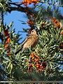 Rufous-backed Redstart (Phoenicurus erythronotus) (15276111283).jpg
