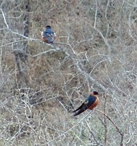 Rufous-chested swallow.jpg