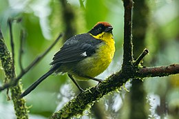 Rufous-naped Brush-Finch - South Ecuador S4E1959 (22764735833).jpg