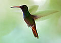 Rufous-tailed Hummingbird 2.jpg