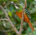Rufous-tailed Jacamar (Galbula ruficauda) (29020639650).jpg