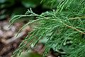 Russian Arborvitae Microbiota decussata Stalks 3008px.jpg