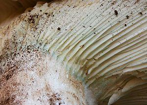 Russula brevipes - Image: Russula brevipes 380443