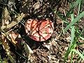 Russula luteotacta.jpg