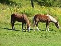 Sable Island horses at Shubenacadie Wildlife Park 02.jpg