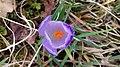 Saffron - Crocus vernus 08.jpg